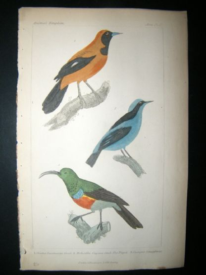 Cuvier C1835 Antique Hand Col Bird Print. The Pipitetc, 37 | Albion Prints